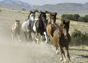 Our native, American, Wild Horses
