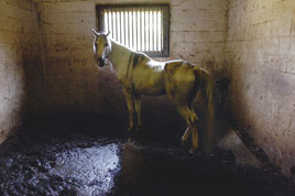 An Arabian horse stands in its own waste in a barn at Renazans Arabians off Hub Clark Road on Friday morning. There was no food or water available for the 17 horses in the barn. Denton County sheriff's deputies seized 76 starving, emaciated horses from the equestrian farm and planned to arrest the owner on a charge of cruelty to animals.