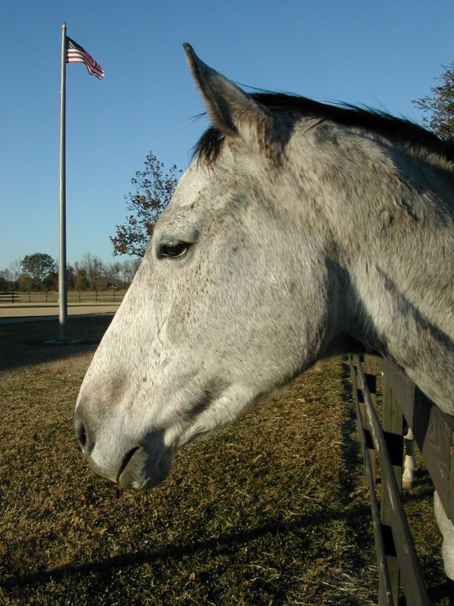New Hope for our American Horses (Ginerous Legacy, rescued from slaughter by Habitat for Horses in 2000. Photo by Terry Fitch