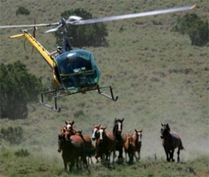 Our wild horses under attack by the BLM