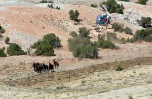 BLM running down wild horses from Cloud's herd - Photo by Terry Fitch