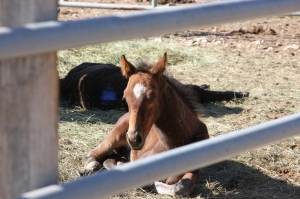 Lame baby in BLM holding pen