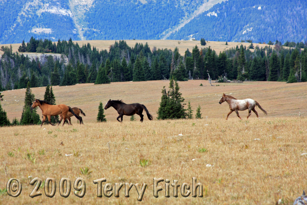 horses running free. Pryor Mountain Horses running