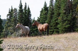 Wild Horses in the Pryor Mountains, MT - (Photo by Terry Fitch)