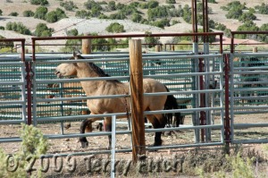 Agitated Stallion cries out for his missing mare