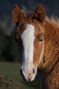 Pyrenees Colt