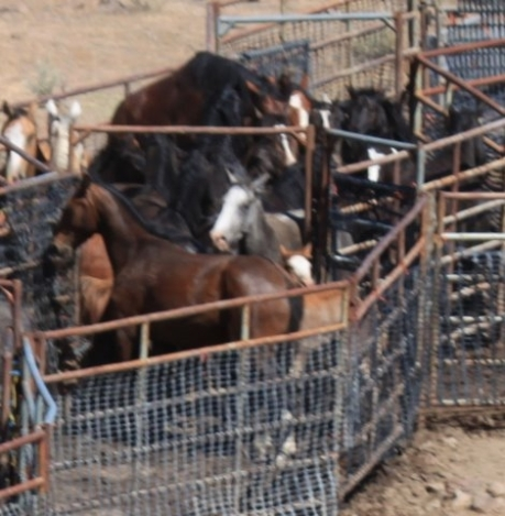 Twin Peaks wild horse roundup