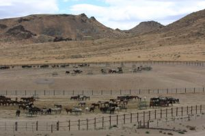 Palomino Valley ~ by Terry Fitch of Wild Horse Freedom Federation