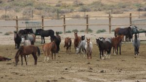 """Why"", the question asked at Palomino Valley ~ photo by Terry Fitch of Wild Horse Freedom Federation"