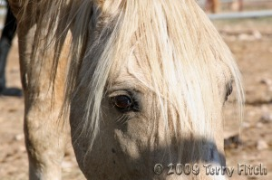 Cloud after BLM capture, Sept. 2009 ~ photo by Terry Fitch of Wild Horse Freedom Federation