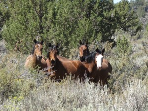 Twin Peaks Wild Horses prior to 2010 stampede and removal~ photo by R.T. Fitch of Wild Horse Freedom Federation