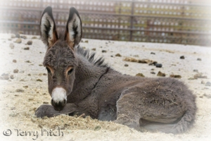 wild burro captured by BLM ~ photo by Terry Fitch of Wild Horse Freedom Federation