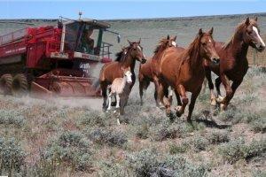 Obama Wild Horse Harvesting Machine ~ courtesy of John Holland