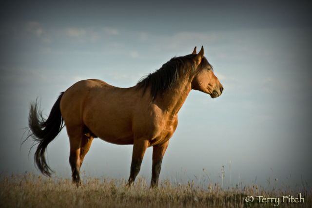 Utah Ranchers Plan To Illegally Roundup Wild Horses