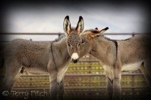 Baby Wild Burros Captured and Imprisoned by the BLM ~ photo by Terry Fitch of Wild Horse Freedom Federation