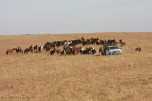 Former Wild Horses at feeding time in private long term holding facility outside Oklahoma City ~ photo by Terry Fitch