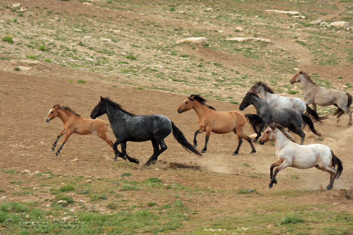 Breaking News Blm To Sterilize Wild Horse Herds In Wy Straight From The Horse S Heart