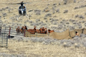 BLM attacking what was left of Nevada's Antelope herd ~ photo by Terry Fitch of Wild Horse Freedom Federation