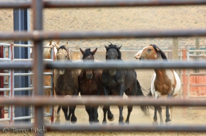 photo by Terry Fitch of Wild Horse Freedom Federation.