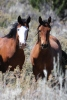 Breaking News: Federal Appeals Judge Halts NV Obama's Wild Horse Roundup