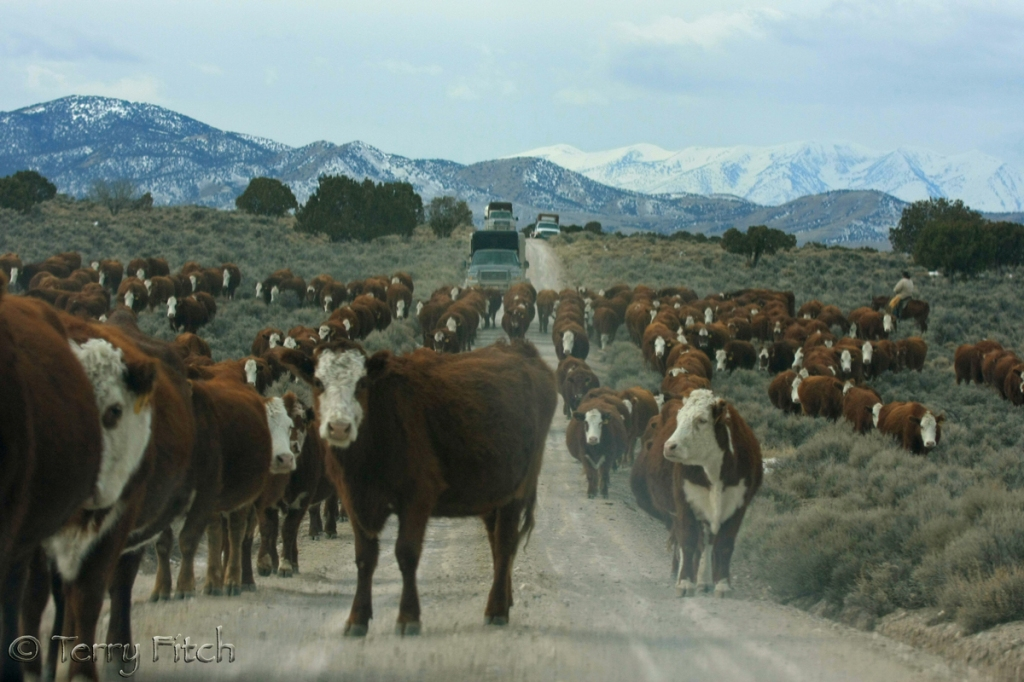 Welfare Cattle herded into Antelope Complex as wild horses are being rounded up ~ photo by Terry Fitch