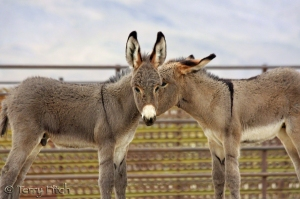 Captured BLM Wild Burros ~ by Terry Fitch of Wild Horse Freedom Federation