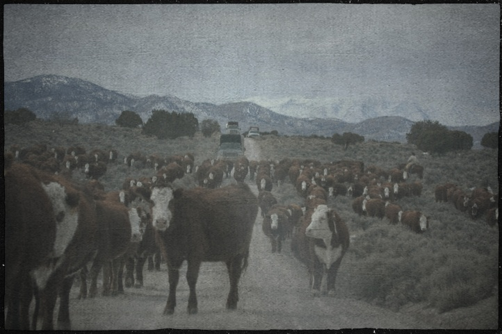 Private Cattle being moved on Antelope Complex while the BLM was removing wild horses ~ photo by Terry Fitch of Wild Horse Freedom Federation
