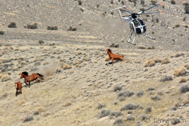 BLM chasing protected mustangs from the air ~ photo by Terry Fitch of Wild Horse Freedom Federation