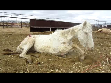 how to clean a horses penis