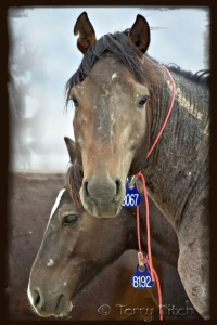 Former wild horses imprisoned by the BLM photo by Terry Fitch of Wild Horse Freedom Federation
