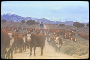 Privately owned welfare cattle being herded onto public land and wild horse habitat . ~  photo by Terry Fitch of Wild Horse Freedom Federation