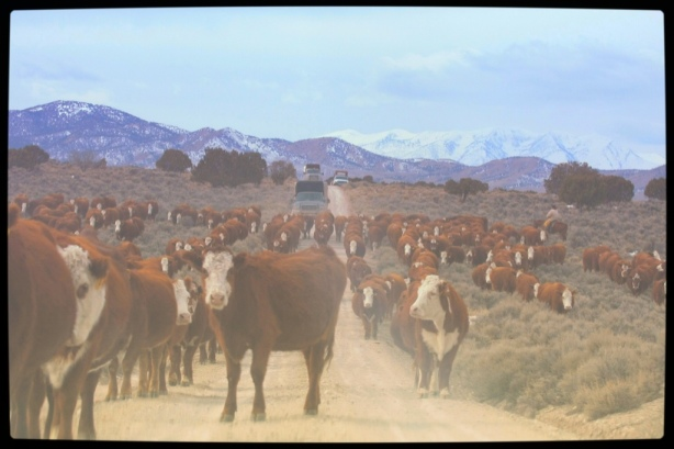 Privately owned welfare cattle being herded onto public land and wild horse habitat  ~  photo by Terry Fitch of Wild Horse Freedom Federation