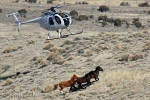 BLM Bird of Prey ~ by Terry Fitch of Wild Horse Freedom Federation