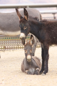 Wild Burros in BLM holding ~ photo by Terry Fitch of Wild Horse Freedom Federation