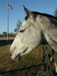 Patriotic Ginerous Legacy (Harley) rescued from slaughter by Terry and R.T. Fitch, may he now rest in peace.