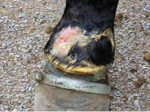 Effects of Horse Soring