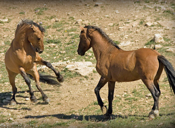 photo by Terry Fitch of Wild Horse Freedom Federation