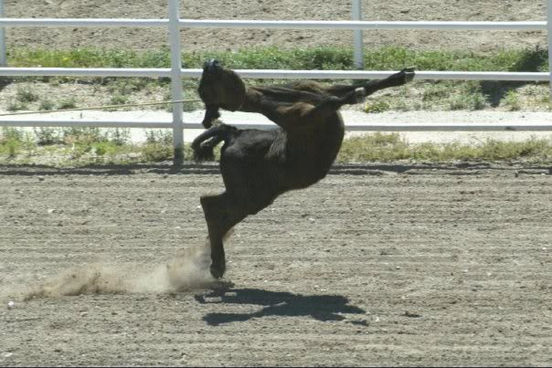 the misunderstanding of the sport of rodeo as an animal abuse Rodeo is a competitive sport that arose out of the working practices of cattle  herding in spain,  however, rodeo is opposed by a number of animal welfare  organizations in the  some accusations of cruelty are based on  misunderstanding.