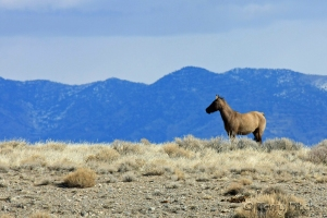 3 HMAs destroyed, wild horses gone forever ~ photo of Antelope Complex taken by Terry Fitch of Wild Horse Freedom Federation