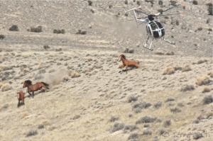 Infamous Antelope Valley Stampede of Jan/Feb 2011 ~ photo by Terry Fitch of Wild Horse Freedom Federation