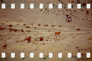 BLM Antelope attack in 2011 ~ photo by Terry Fitch of Wild Horse Freedom Federation