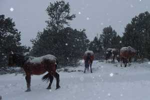 Virginia Range Wild Horses ~ photo courtesy of aowha.org