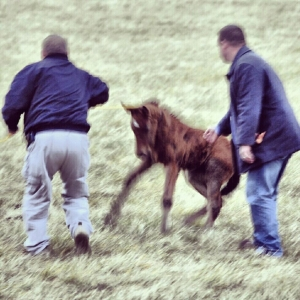 3 week old foal being dragged with baling twine by developer's hired security at Ag. Dept. bait trap - photo by