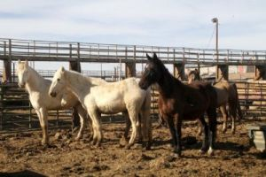 Father, mother and baby Cremellos with bay and buckskin herdmate at the Nevada Livestock Marketing Yard in Fallon on Jan. 9. Photo by Patrick Kennedy