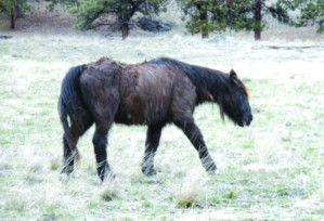 "The last survivor of the 1992 transplant of wild horses to Wild Horse Island on Flathead Lake keeps surprising biologists by his longevity. ""I don't know what the old guy's secret is,"" says Jerry Sawyer, manager of the island for Fish, Wildlife and Parks, ""but whatever he's eating, I wish I could get some."""