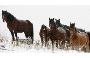 The wild horse population in Alberta is estimated to be 778. The Wild Horses of Alberta Society is seeking protection for the animals, which live along the Eastern Slopes of the Rockies.Photograph by: Leah Hennel, Calgary Herald