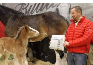 "Jeff Knapper, general manager of Budweiser Clydesdale operations, shows the baby foal the USA Today headline announcing that ""Brotherhood"" won the Super Bowl XLVII Ad Meter competition. Fans submitted more than 60,000 ideas via social media for naming the now-21-day-old Clydesdale, who Budweiser announced will be called ""Hope"" (PRNewsFoto/Anheuser-Busch) / PR NEWSWIRE"