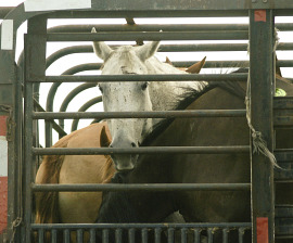 American Horses trucked to Mexico for slaughter
