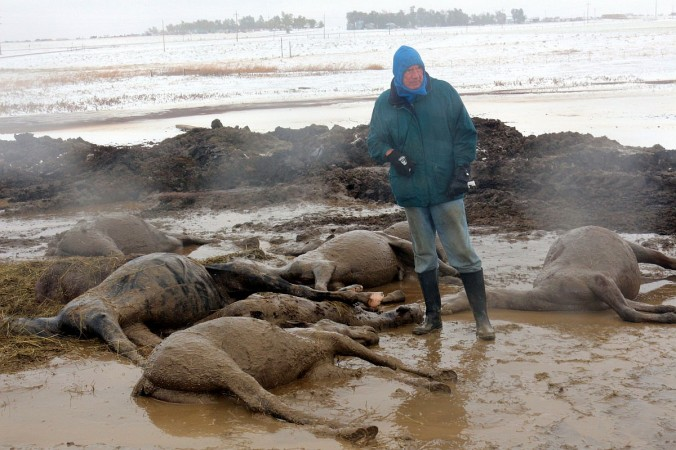 Grim Horse Toll In South Dakota Blizzard Straight From
