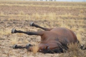 Photo: One of the thousands of wild horses that were shot in the cull. (Libby Lovegrove: Wild Horses Kimberley)